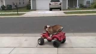 English Bulldog Drives A Power Wheels