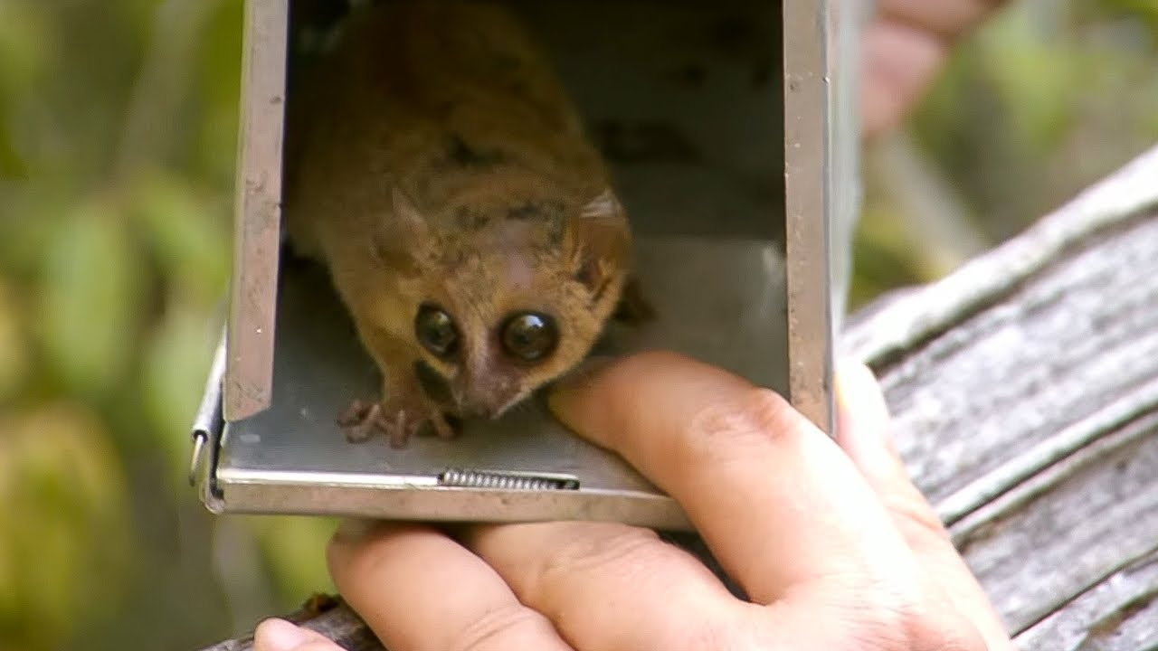 The World's Smallest Lemur | Attenborough and the Giant ...