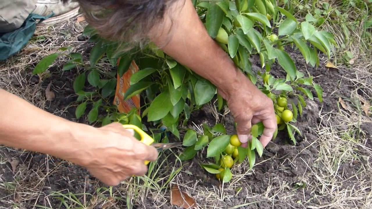 how to prune Calamansi when they are young