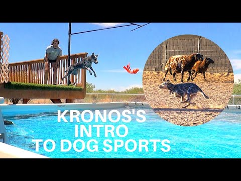 Kronos the CowDog's First Time Herding, Lure Coursing, & Dock Diving