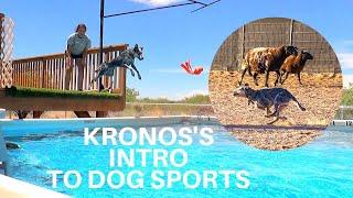 Kronos the CowDog
