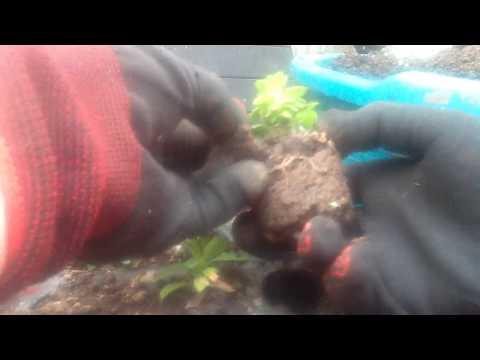 Вегетативная петуния - 30 марта