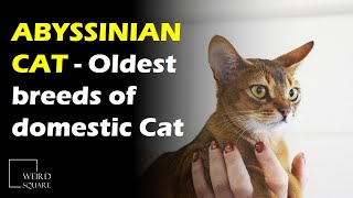 The Abyssinian Cat is thought to be one of the oldest breeds of domestic Cat in the world
