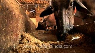 Cows at dairy farm in India