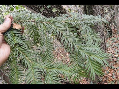 Ядовитое растение Тис Ягодный / Táxus baccáta