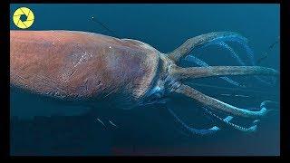 Amazing Giant Squid Catching Sea - Giant Squid Processing Hand Vs Factory