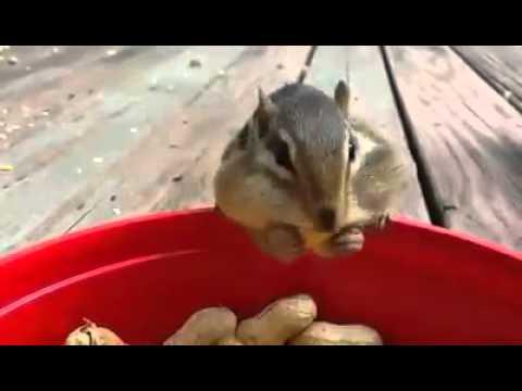 Fıstık Hırsızı Sincaplar