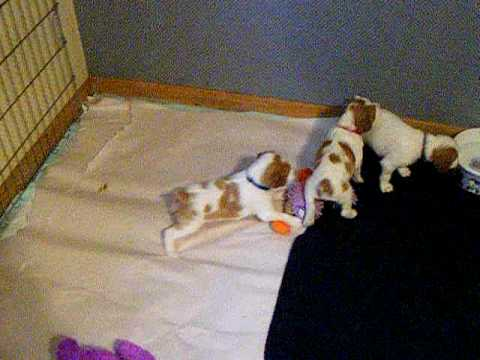 5 Week Old Brittany Pups Playing