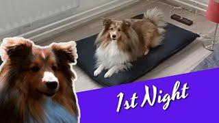 My Shetland Sheepdog 1st night in her new home