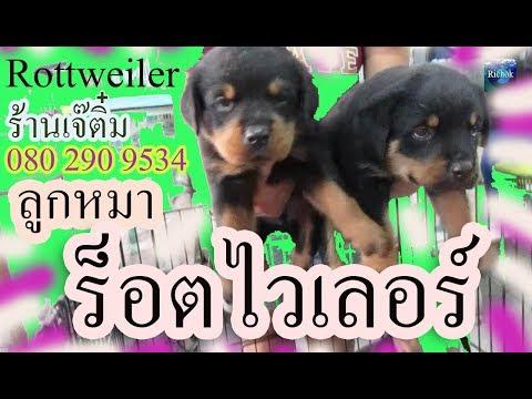 ลูกหมาร็อตไวเลอร์ อายุ 35 วัน ร้านเจ๊ติ๋มนครปฐม หมาสายพันธุ์แปลกๆ น่ารักน่าเลี้ยง แผนที่ไปร้าน : Pet