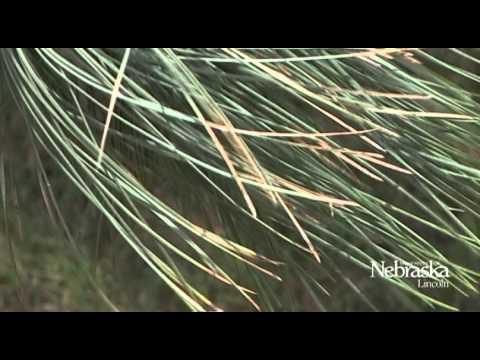 Gardening - Backyard Farmer - Pine Species