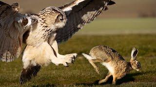 Owl Attacks Fearless Rabbit