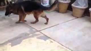 German Shepherd   Puppies  For Sale  9154726978