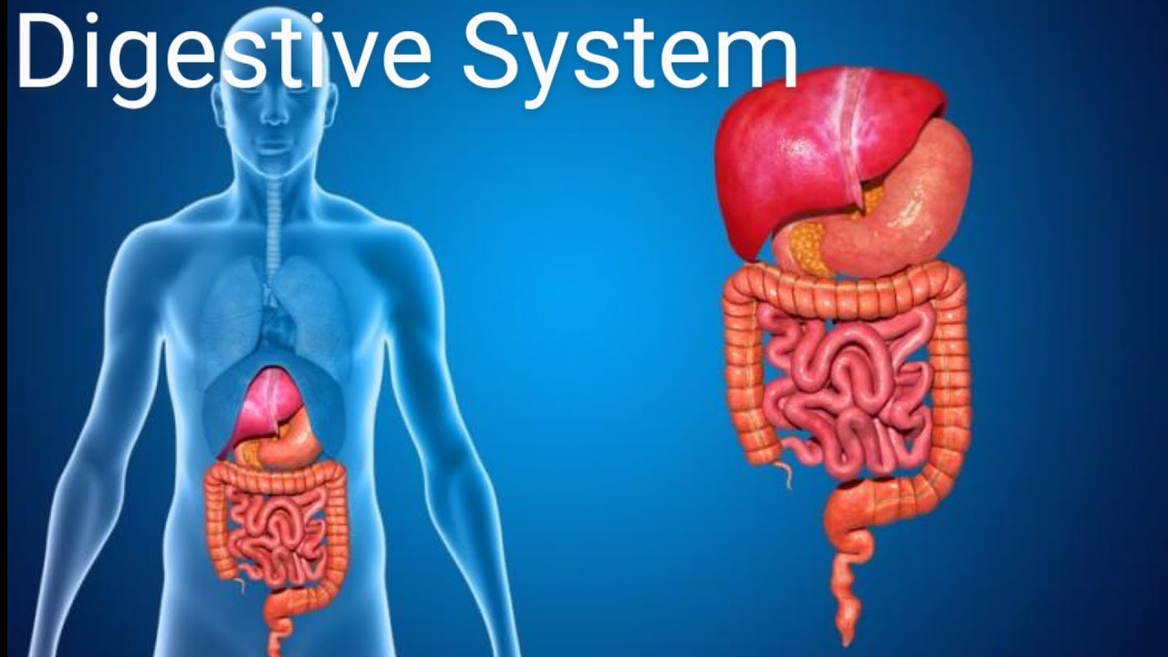 Understanding Digestive System of Human Body - YouTube
