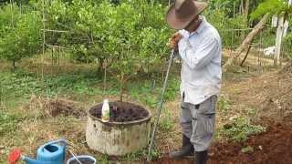 การแก้ปัญหาเรื่องการระบายน้ำของมะนาวในวงซีเมนต์