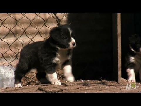 Border Collie Pups Ruffle Some Feathers | Too Cute!