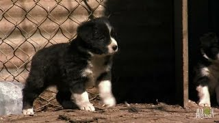 Border Collie Pups Ruffle Some Feathers   Too Cute!
