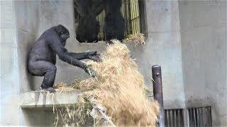 シャバーニ家族 室内最終日 108  Shabani gorilla family