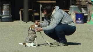 まだ「お座り」や「待て」も全然できないので、「正しい家庭犬」になる...