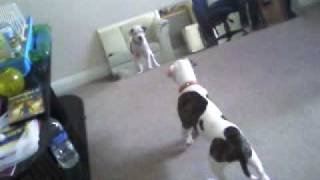 American Bulldog X Staffy, Bruno Playing2