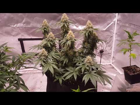 Beginner Growers Guide. Episode 1 What Do I Need To Start Growing Medical Or Recreational Cannabis?
