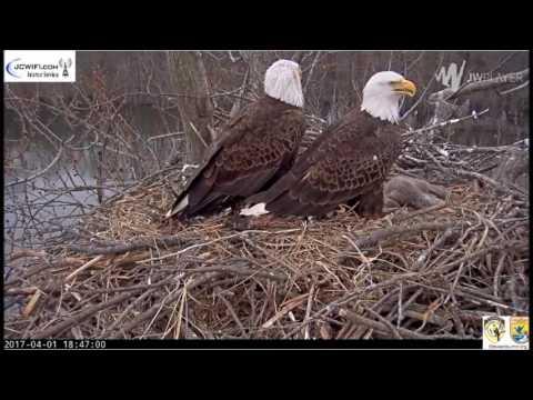 Trio Bald Eagle Nest ~ The Eagles Called Valor 4 1 17