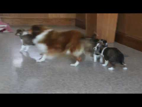 Shetland Sheepdog Mix Puppies For Sale