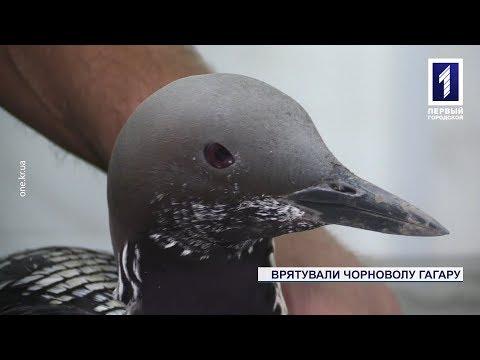 У селі під Кривим Рогом врятували поранену пташку – чорноволу гагару
