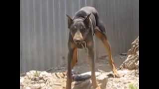Angry Guard Dog On Astypalea Mvi 2372