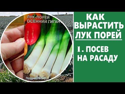Как вырастить лук порей.  Когда сеять лук порей на рассаду