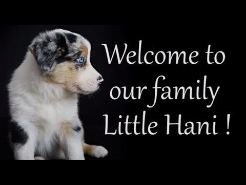 Introducing Hani - My lovely Puppy Border Collie - Birth to 2 months