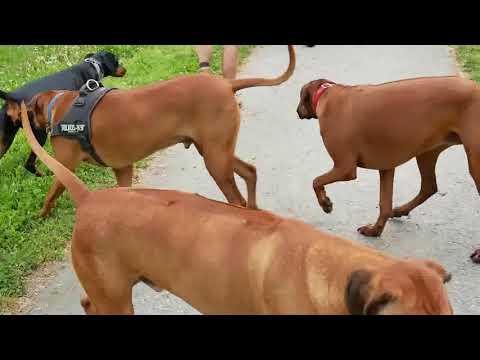 Dobermann meets Rhodesian ridgeback dogs at Jeskyns Park