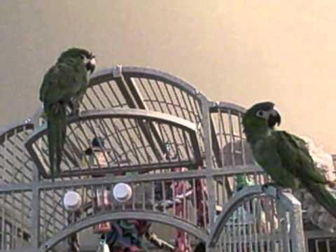 Hahns Macaws. Oscar & Annabelle Talking & Singing