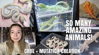 Canada's Largest Reptile Expo + Tons Of Cool Ball Pythons! (CRBE + Mutation Creation Facility!)