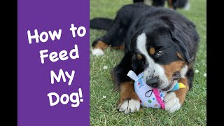 What and how to feed your Bernese Mountain Dog and the supplements top breeders recommend.