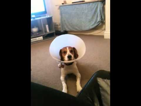 Trending - Dog Walks Proudly After Being Neutered