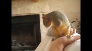 Pet squirrel takes a bath in my hand