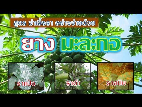 สูตรฆ่าเชื้อรา โรคพืช อย่างง่าน ด้วยยางมะละกอ