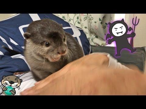 天使から吸血鬼へ変身するカワウソのビンゴ(Bingo the otter evolving from an angel to vampire)