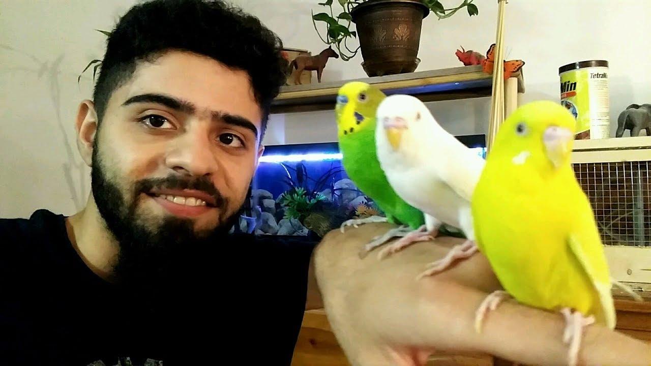ماهو الفرق بين الذكر و الانثى في طيور الحب البادجي العادي و الهولندي منير ليث Youtube