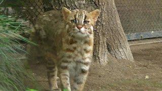 井の頭:ツシマヤマネコ「ノリ」一般公開に!Tsushima Leopard Cat ツシマヤマネコ 検索動画 8