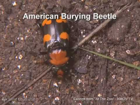 Surveying for the American burying beetle (Saint Louis Zoo)