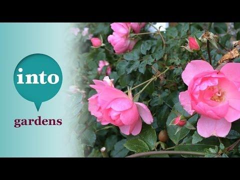 Rosa bonica: Plants for November