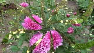 осенняя мелодия цветов