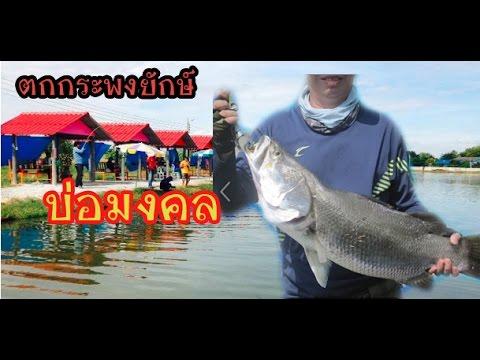 ตกกระพงยักษ์ บ่อมงคล กัดผิวน้ำแบบโดนๆๆ,Fishing big barramundi fish