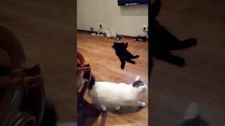 Реакция Милки на мяукание чужой кошки