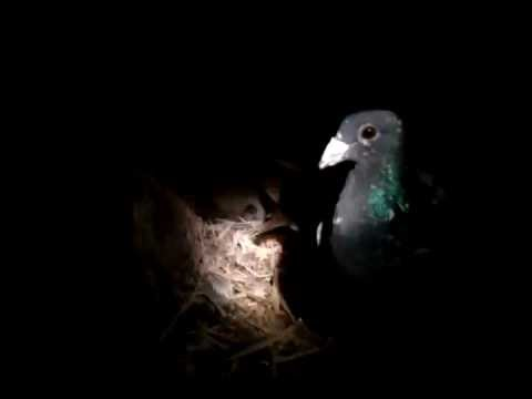 Homing Pigeons - Night Visit