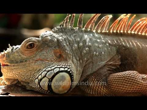 Green Iguana shows off its spikes