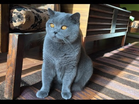 Coconut. Blue British Shorthair. Loves Brushing