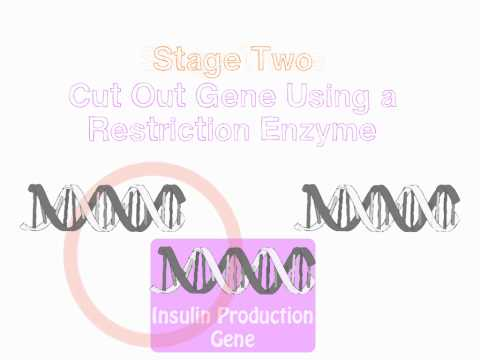 GCSE Biology - Genetic Engineering Insulin